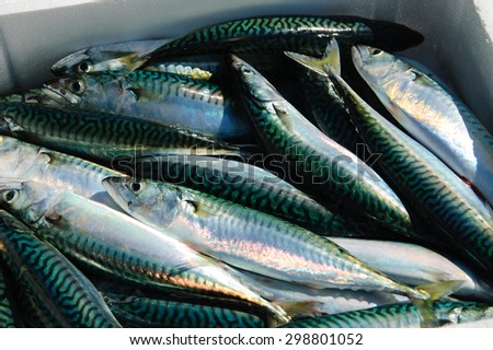 Fresh catch of mackerel fish in  styrofoam container. Close up. - stock photo