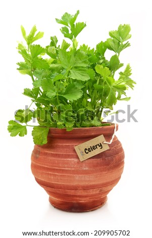 Fresh celery plant in a clay pot - stock photo
