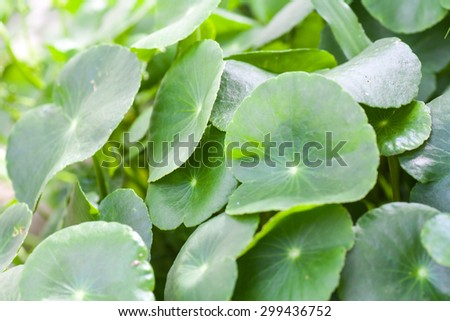 Fresh Centella asiatica