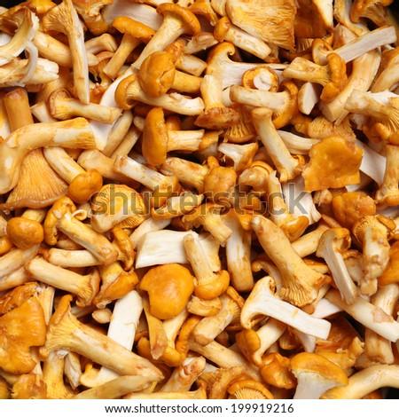 Fresh chanterelle mushrooms close up background - stock photo