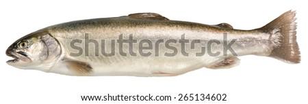 Fresh char fish - stock photo
