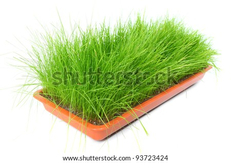 Fresh chives growing from pot. Tasty food ingredient. Chives are reported to have a beneficial effect on the circulatory system. They also have mild stimulant, diuretic, and antiseptic properties. - stock photo