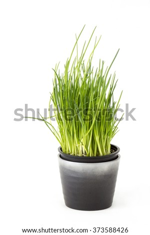 fresh chives in a pot on white background - stock photo