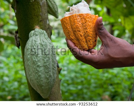 Fresh cocoa pod cut exposing cocoa seeds, with a cocoa plant in background. - stock photo