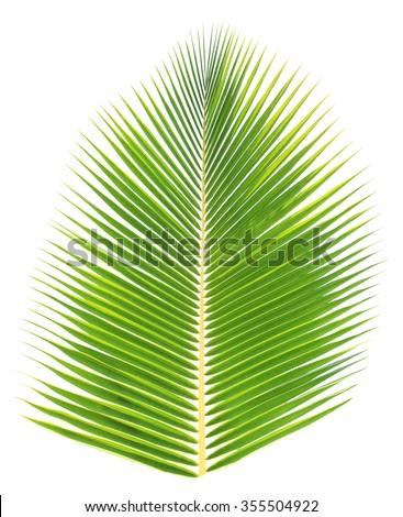 Fresh coconut leaf isolated - stock photo
