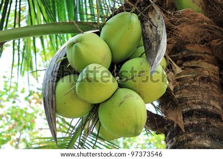 Fresh coconut on the tree - stock photo