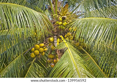 Fresh coconuts on palm taken in Kerala, India - stock photo