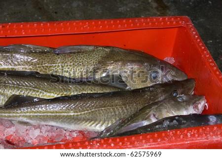 Fresh cod in red box - stock photo