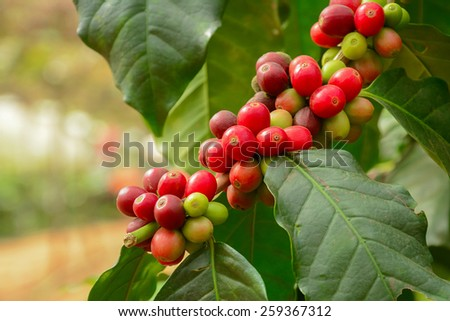 Fresh coffee beans on branch of coffee plant - Arabica coffee - stock photo