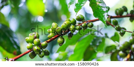 Fresh coffee beans or Coffee beans on tree in farm on tree at Doi Inthanon National park in Chiang Mai, Province Asia Thailand  - stock photo