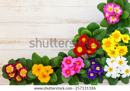 Fresh colorful primula flowers in pots on wooden background. Top view - stock photo