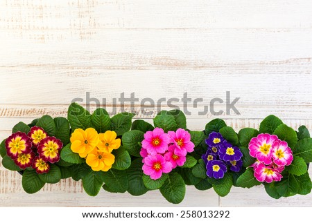 Fresh colorful primula flowers in pots on wooden background. Top view. - stock photo