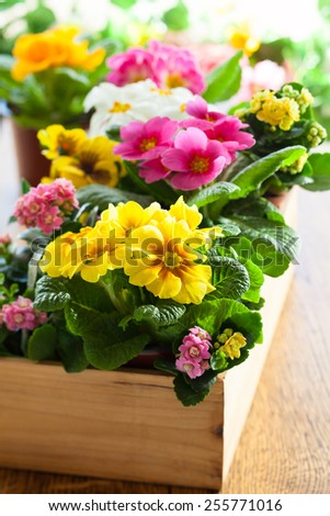 Fresh colorful primula in wooden flower pot - stock photo
