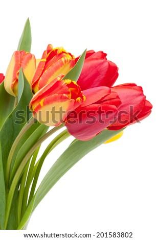 Fresh colorful tulips bouquet. Isolated on white background