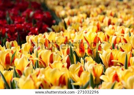 Fresh colorful tulips flower, Kuekenhof Netherland