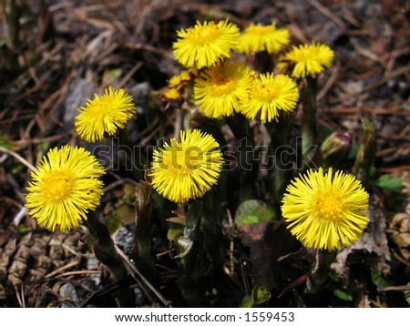 Fresh coltsfoot flowers in the spring. Great herbs for a healthy tea. Low DOF.