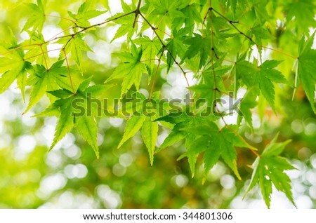 Fresh condition of the green maple leaves in the garden