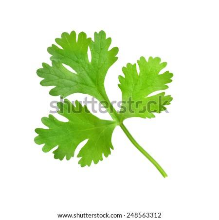 Fresh coriander leaf isolated on white background - stock photo