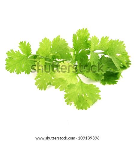 Fresh coriander leaves - stock photo