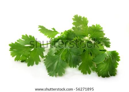 fresh coriander on a white background - stock photo