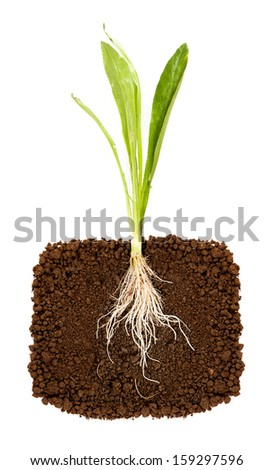 Fresh coriander with underground root visible - stock photo