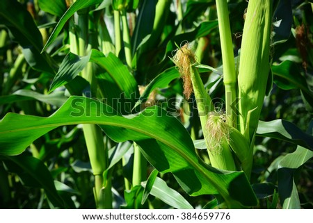 Fresh corn crop on farmland, in spring season