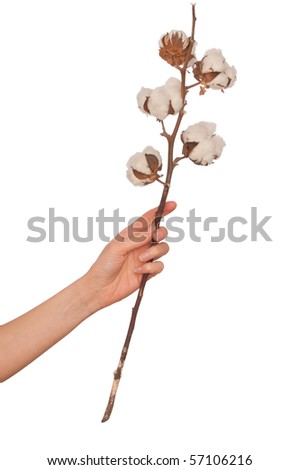 fresh cotton branch in the woman's hand - stock photo
