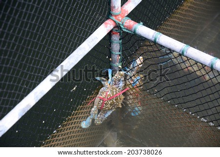Fresh crabs in nets  - stock photo