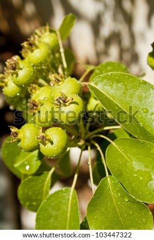 fresh Crop of Pears Growing on Pear Tree - stock photo