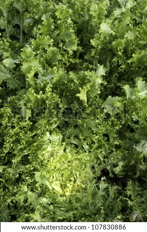 Fresh curly endive on a vegetable patch - stock photo