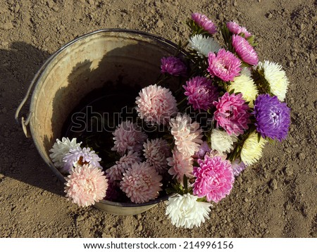 fresh cut asters in a bucket - stock photo