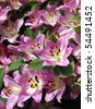 Fresh cut pink lilies, garden and flower exhibition - stock photo