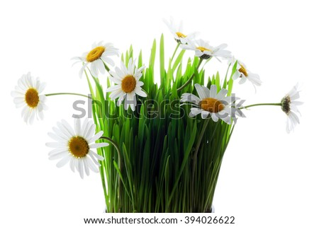 Fresh daisies. Summer flower - stock photo