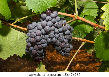 Fresh dark-red healthy, ripe, juicy and fruitful wine grapes in a vineyard on Crete. - stock photo