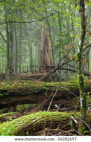 Fresh deciduous stand of Bialowieza Forest in summer with broken oak logs in foreground - stock photo