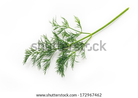 Fresh Dill tied in a bunch, isolated on white background