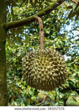 Fresh durian on durian tree in Ease of Thailand