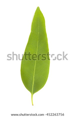 fresh eucalypus leaves isolated on white background