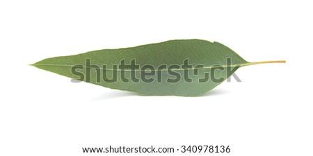fresh eukalyptus leaves isolated on white background - stock photo