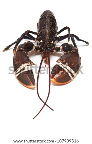 Fresh European common lobster isolated against a white studio background. - stock photo