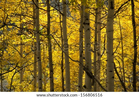 Fresh fall colors line the mountain sides starting at nine thousand feet and higher in late September./Aspen/Green and gold are the colors of fall in the Colorado Rocky Mountains, Sam Juan range.