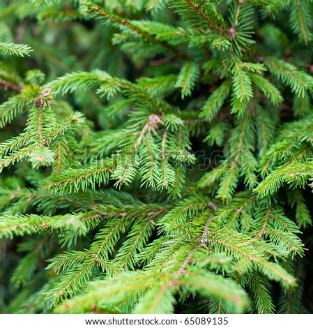 Fresh fir branch - stock photo