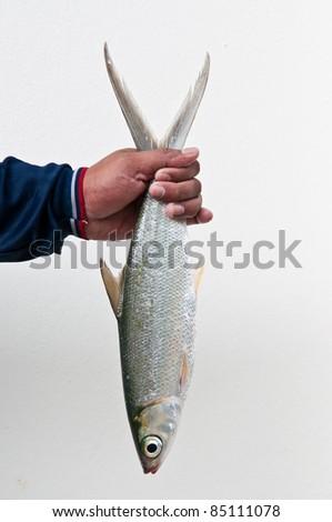 Fresh fish and white background. - stock photo