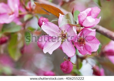 Fresh Flowering Crab apple Tree blossom macro.   - stock photo