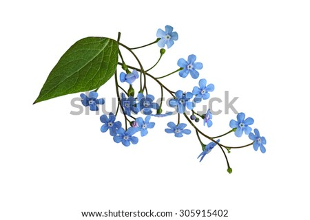 Fresh Forget Me Not flower isolated on white background - stock photo