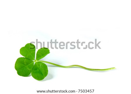 Fresh four leaf clover isolated on white - symbol of holiday St Patrick's Day - stock photo