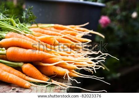 Fresh garden carrots - stock photo