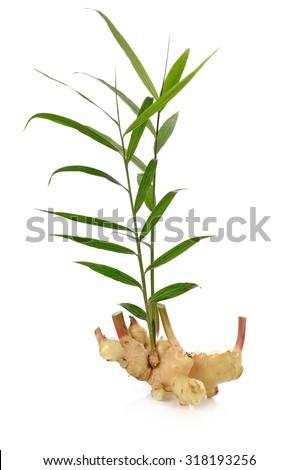 Fresh ginger isolated on white background - stock photo