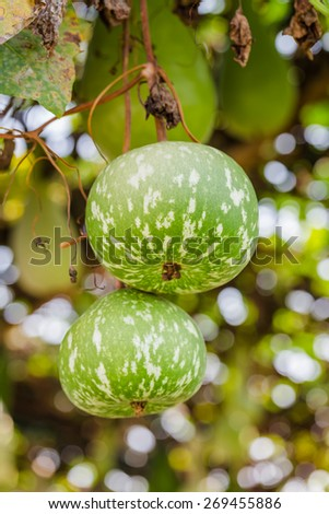 Fresh gourd without toxin - stock photo