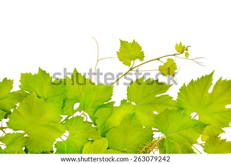 fresh grape leaves isolated on white - stock photo
